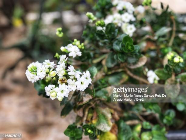 close-up of white flowering plant - marlon reis stock pictures, royalty-free photos & images