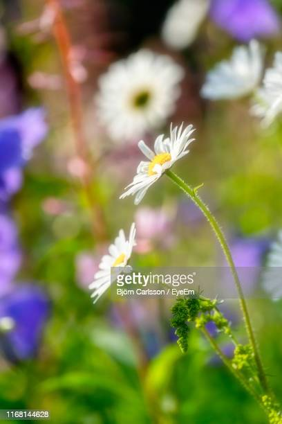 close-up of white flowering plant - västra götaland county stock pictures, royalty-free photos & images