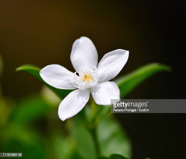 close-up of white flowering plant - jasmine stock pictures, royalty-free photos & images