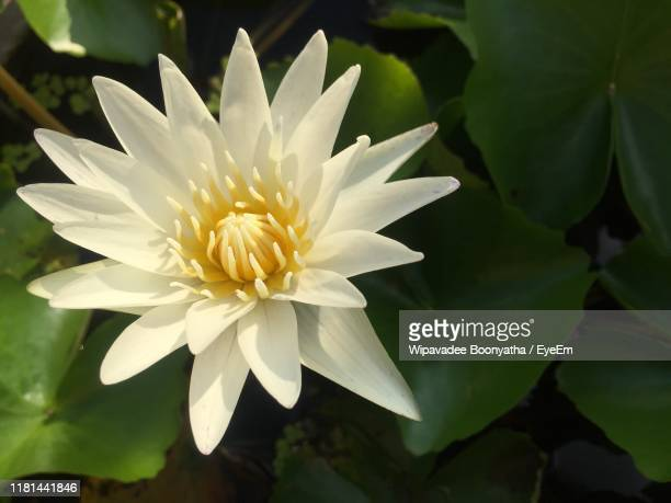 close-up of white flowering plant - wipavadee stock photos and pictures