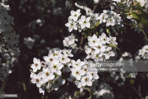close-up of white flowering plant - bortes stock pictures, royalty-free photos & images