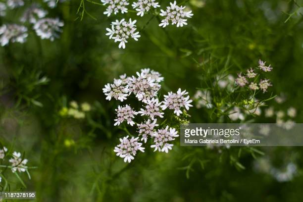 close-up of white flowering plant - gabriela stock pictures, royalty-free photos & images