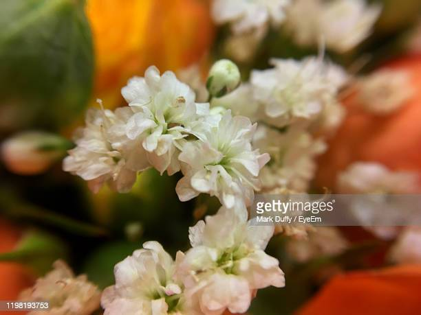 close-up of white flowering plant - mark bloom stock pictures, royalty-free photos & images