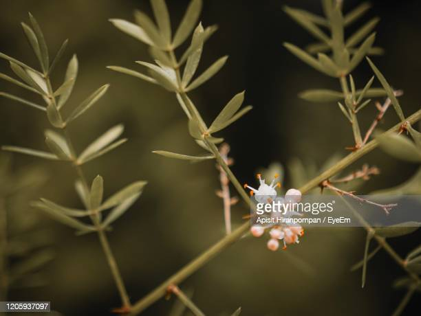 close-up of white flowering plant - apisit hiranpornpan stock pictures, royalty-free photos & images