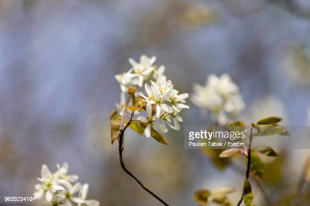 close-up of white flowering plant - paulien tabak stock photos and pictures