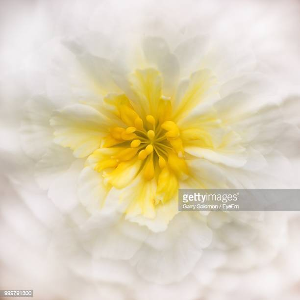 close-up of white flowering plant - palo alto stock pictures, royalty-free photos & images