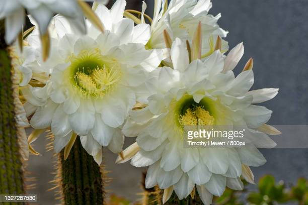 close-up of white flowering plant,anaheim,california,united states,usa - anaheim california stock pictures, royalty-free photos & images