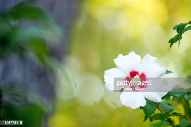 Rose Of Sharon Photos and Premium High Res Pictures ...