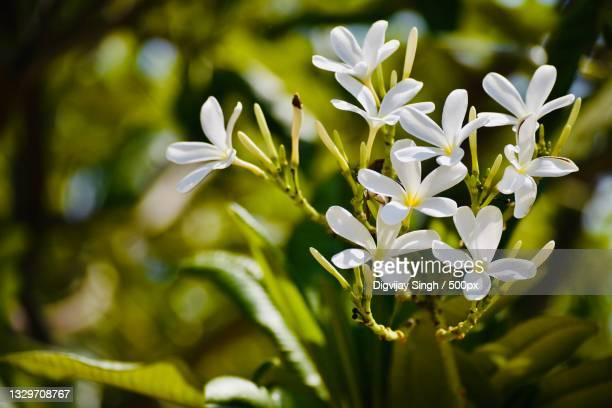 close-up of white flowering plant,chandigarh,india - chandigarh stock pictures, royalty-free photos & images