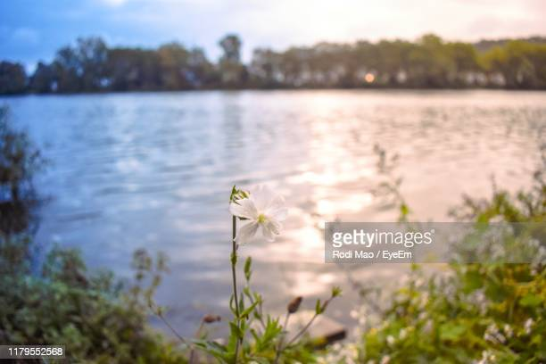 close-up of white flowering plants by lake - コブレンツ ストックフォトと画像