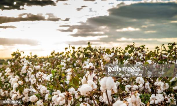 close-up of white flowering plants on field against sky - cotton harvest stock pictures, royalty-free photos & images