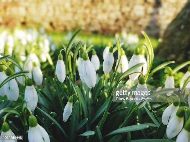 close-up of white flowering plants on field - snowdrop stock pictures, royalty-free photos & images