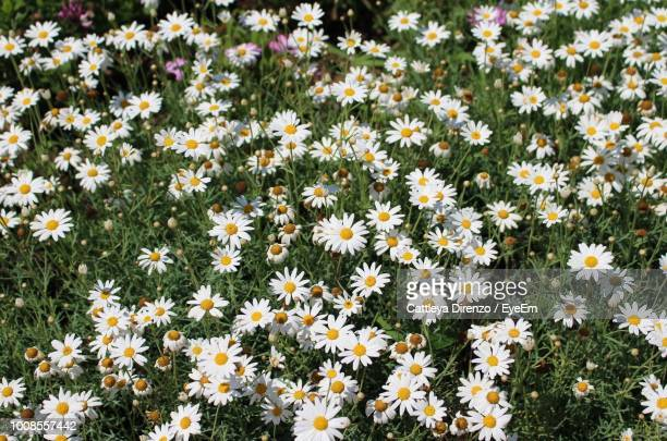 close-up of white flowering plants on field - flowering plant stock photos and pictures