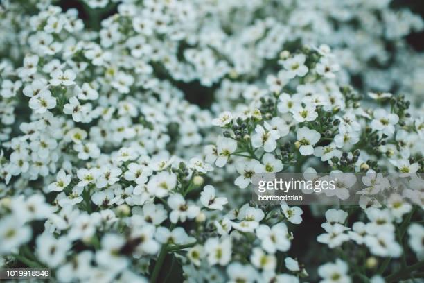 close-up of white flowering plants - bortes fotografías e imágenes de stock