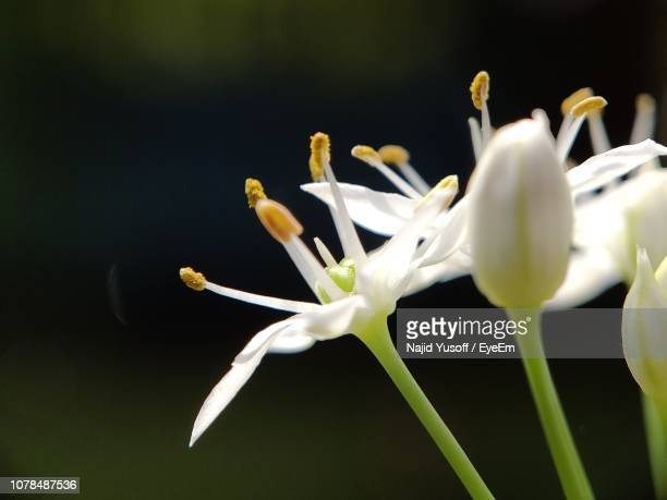 close-up of white flowering plants - najid yusoff stock pictures, royalty-free photos & images