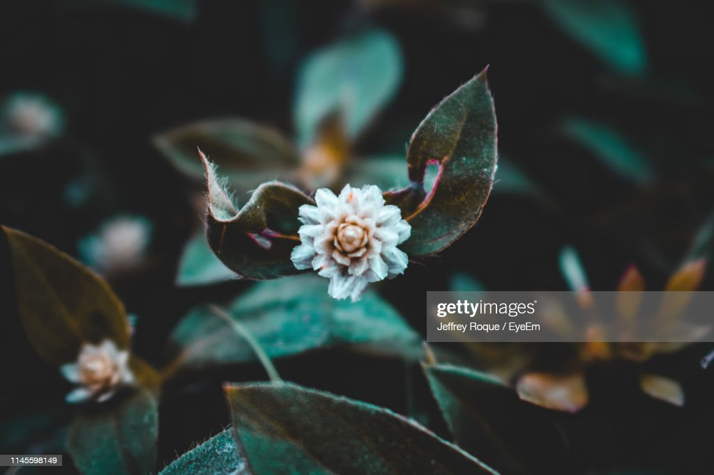 Close-Up Of White Flowering Plants : Stock Photo