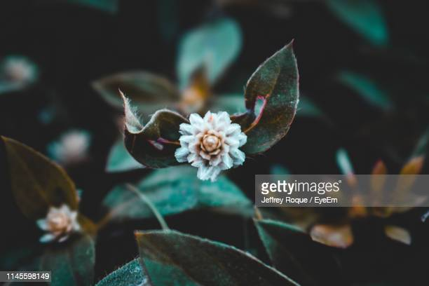 close-up of white flowering plants - jeffrey roque stock photos and pictures