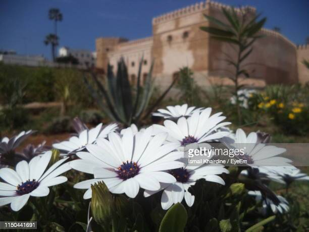 close-up of white flowering plants - ismail khairdine stock photos and pictures
