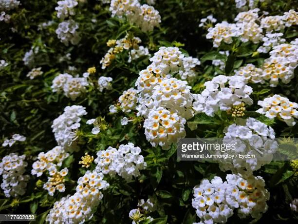 close-up of white flowering plants - lantana stock pictures, royalty-free photos & images