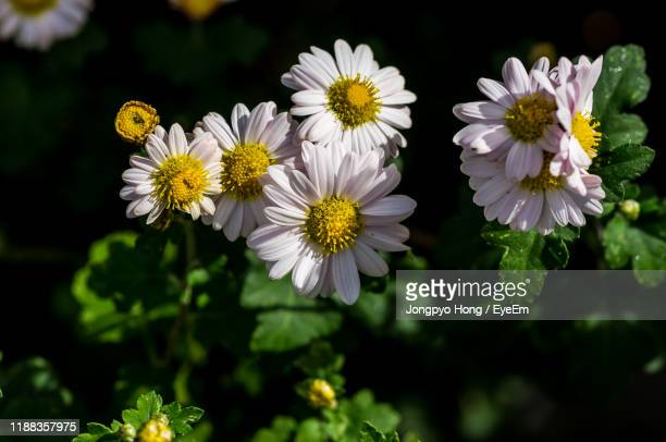 close-up of white flowering plants - chrysanthemum stock pictures, royalty-free photos & images