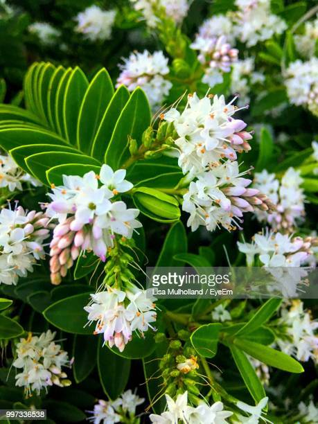 close-up of white flowering plants - borough of lewisham stock pictures, royalty-free photos & images