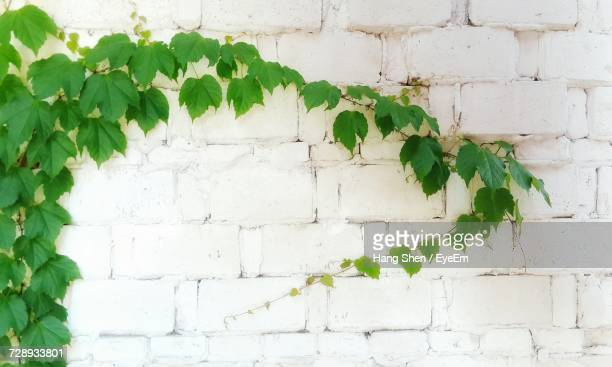 Close-Up Of White Flowers Against Brick Wall