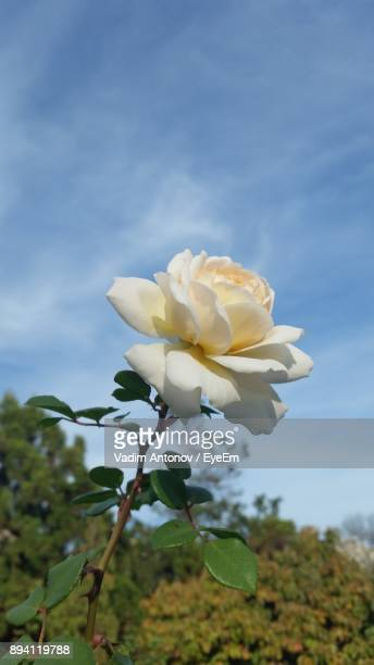 close-up of white flowers blooming against sky - antonov stock pictures, royalty-free photos & images