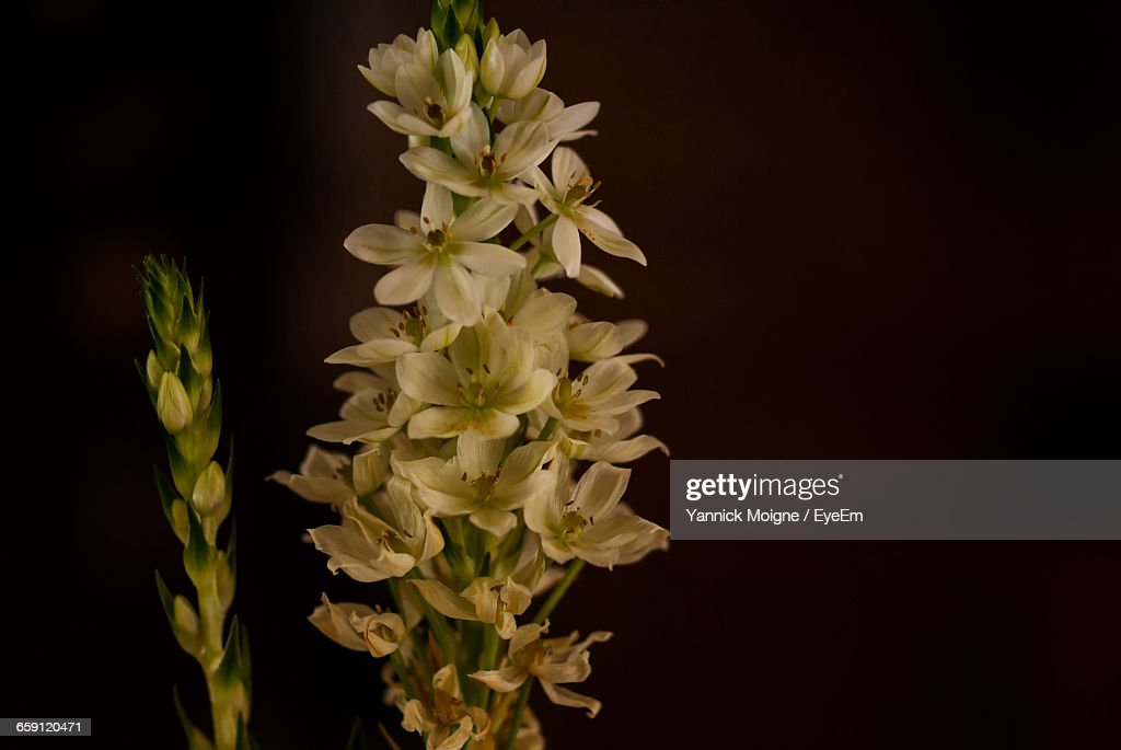 Closeup of white flowers blooming at night stock photo getty images close up of white flowers blooming at night stock photo mightylinksfo