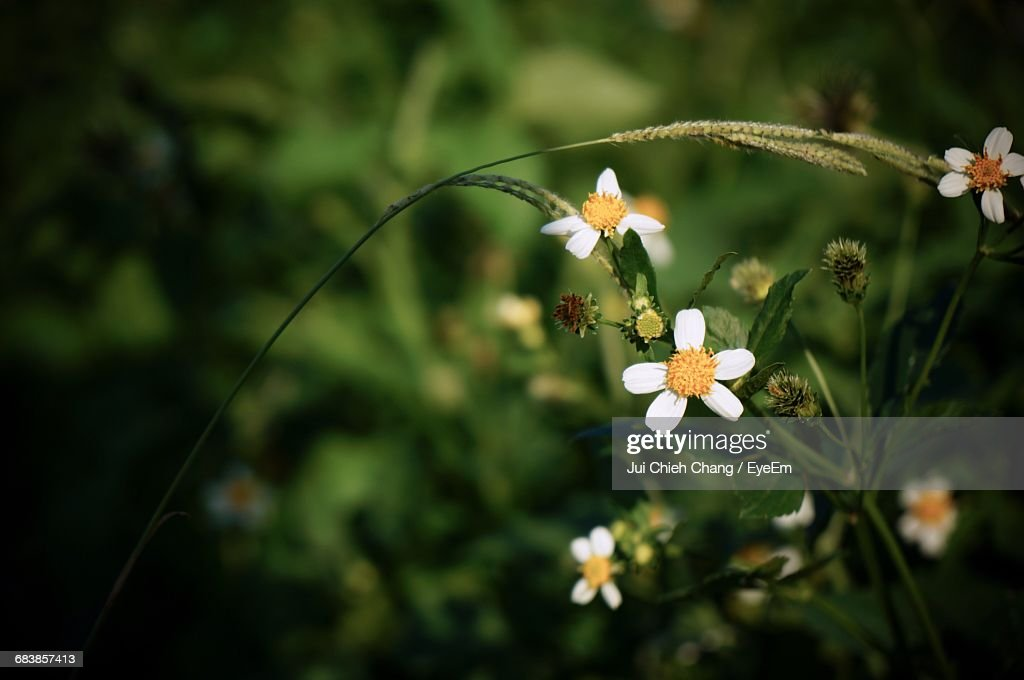 Close-Up Of White Flowers Blooming At Park : Stock Photo
