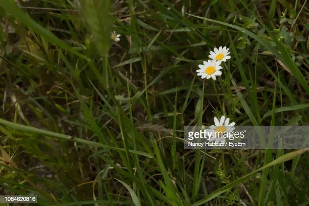 close-up of white flowers blooming in field - nancy green stock pictures, royalty-free photos & images