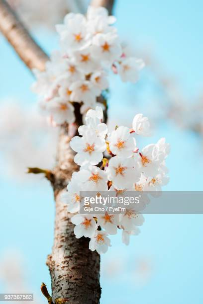 Close-Up Of White Flowers Blooming On Tree Against Sky