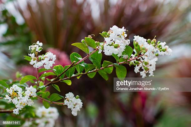close-up of white flowers blooming on tree - special:whatlinkshere/file:lucerne_circle,_orlando,_fl.jpg stock pictures, royalty-free photos & images