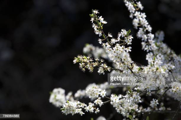 close-up of white flowers blooming on tree - paulien tabak photos et images de collection