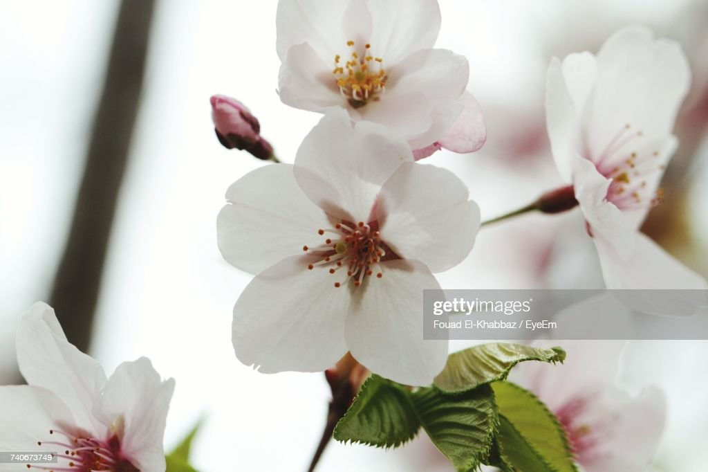 Close-Up Of White Flowers Blooming On Tree : Stock-Foto