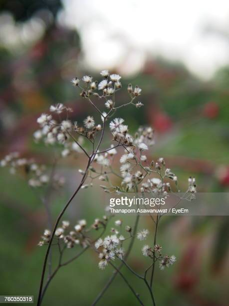 close-up of white flowers blooming on tree - chanthaburi stock pictures, royalty-free photos & images