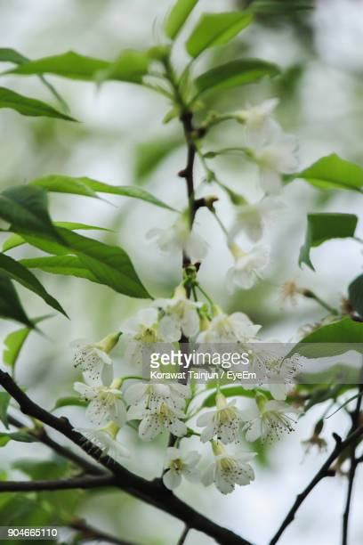 Close-Up Of White Flowers Blooming On Tree