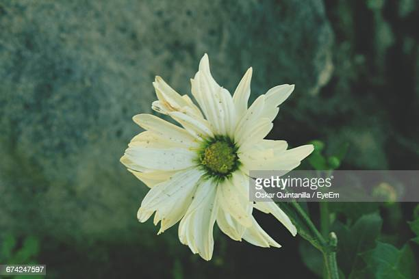 close-up of white flowers blooming outdoors - oskar stock pictures, royalty-free photos & images