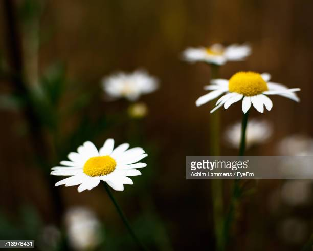 close-up of white flowers blooming outdoors - achim lammerts stock-fotos und bilder