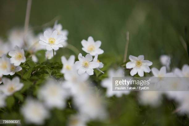 close-up of white flowers blooming outdoors - paulien tabak stock pictures, royalty-free photos & images