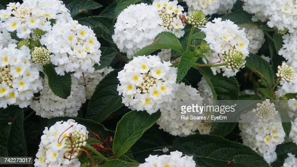 close-up of white flowers blooming outdoors - lantana stock pictures, royalty-free photos & images