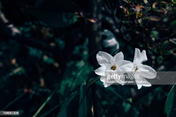 close-up of white flowers blooming outdoors - koukichi koukichi stock photos and pictures