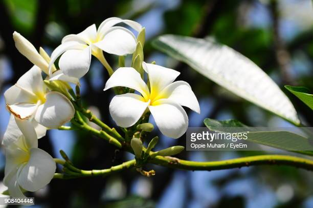 close-up of white flowers blooming outdoors - oppie muharti stock pictures, royalty-free photos & images
