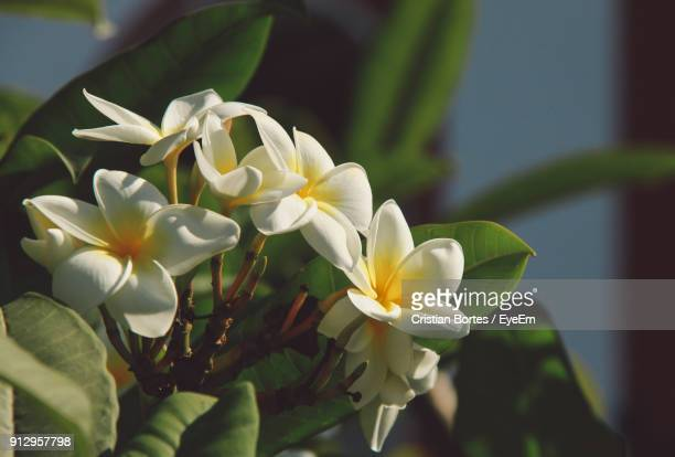 close-up of white flowers blooming outdoors - bortes stockfoto's en -beelden