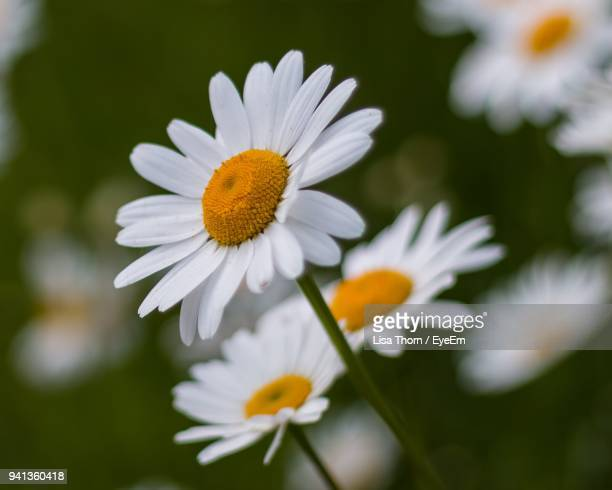 close-up of white flowers blooming outdoors - daisy stock photos and pictures