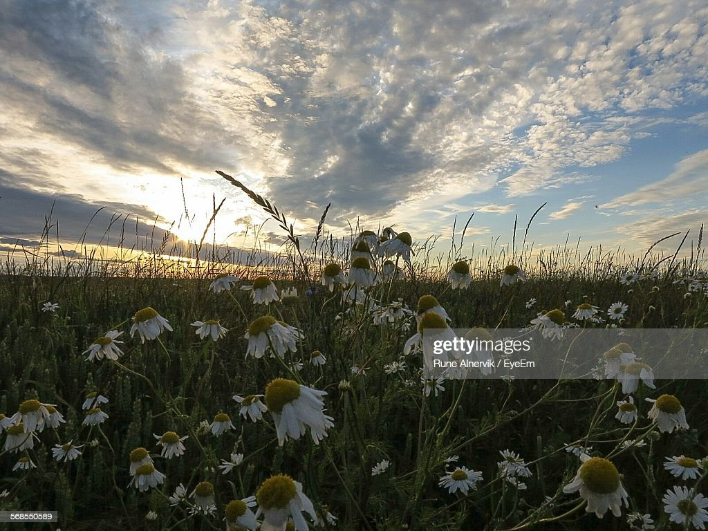 Close-Up Of White Flowers Growing In Field Against Cloudy Sky During Sunset : Stock Photo