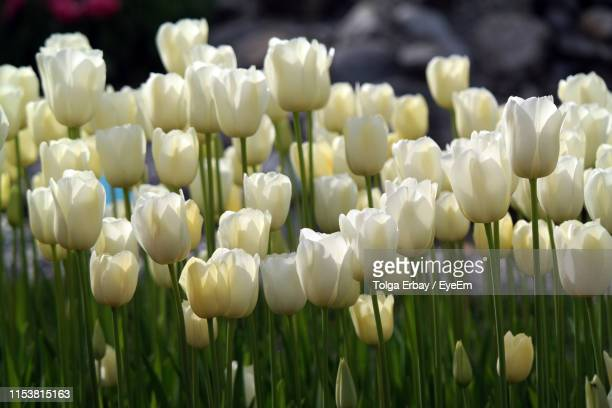 close-up of white flowers in field - tolga erbay stock photos and pictures