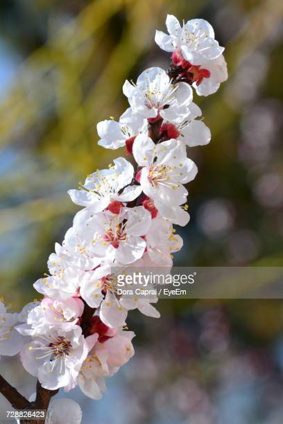 close-up of white flowers on branch - almond orchard stock photos and pictures