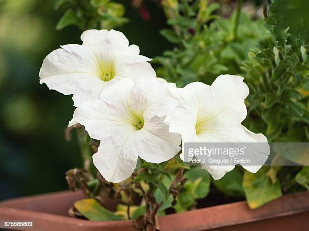 Close-Up Of White Flowers On Potted Plant