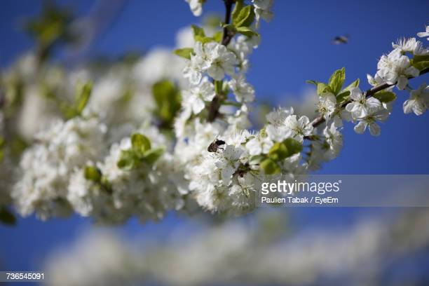 close-up of white flowers on tree - paulien tabak stock pictures, royalty-free photos & images