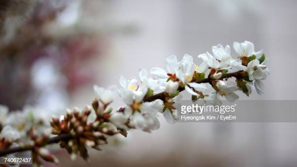 close-up of white flowers on tree - bucheon stock pictures, royalty-free photos & images